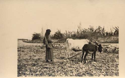 Palestine Israel Farmer Plowing with Donkey Bull