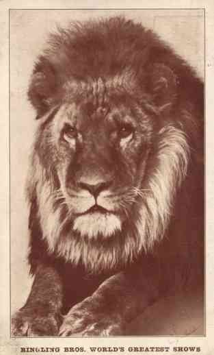 Lion from Ringling Brothers Circus