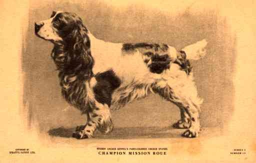 Dog Cocker Spaniel Champion
