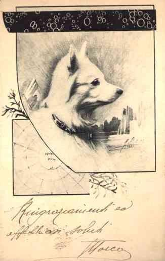 North Polar Dog Samoyed