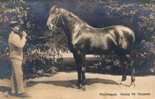 Famous Horse Nonius VII Real Photo