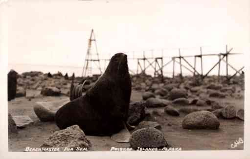 Alaska Pribliof Islands Seal Real Photo