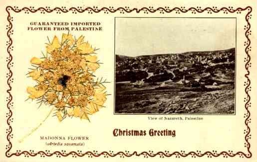 Dried Madonna Flower Palestine Nazareth Chrismas