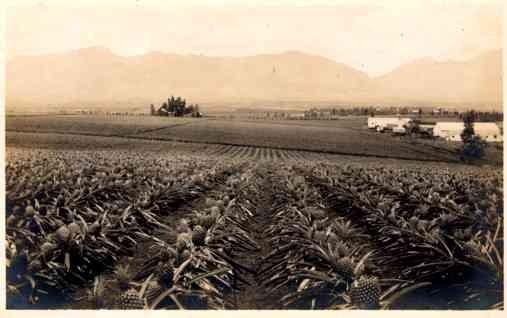 Hawaii Pineapple Crops Real Photo