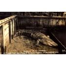 FLORIDA St. Augustine Albino Alligator RP