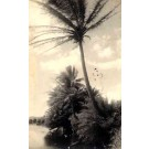 Hawaii Palms Real Photo