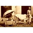 Indian Beggar in Bull-Drawn Cart RP