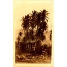Coconuts Trees Lahaiu Real Photo