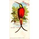 Chocolate Colibri French Ornithology