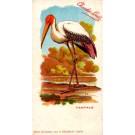 Chocolate Tantalum French Ornithology